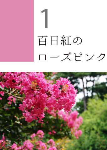 1 百日紅のローズピンク