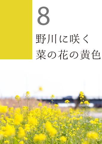 8 野川に咲く菜の花の黄色