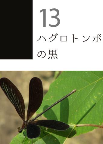 13 ハグロトンボの黒